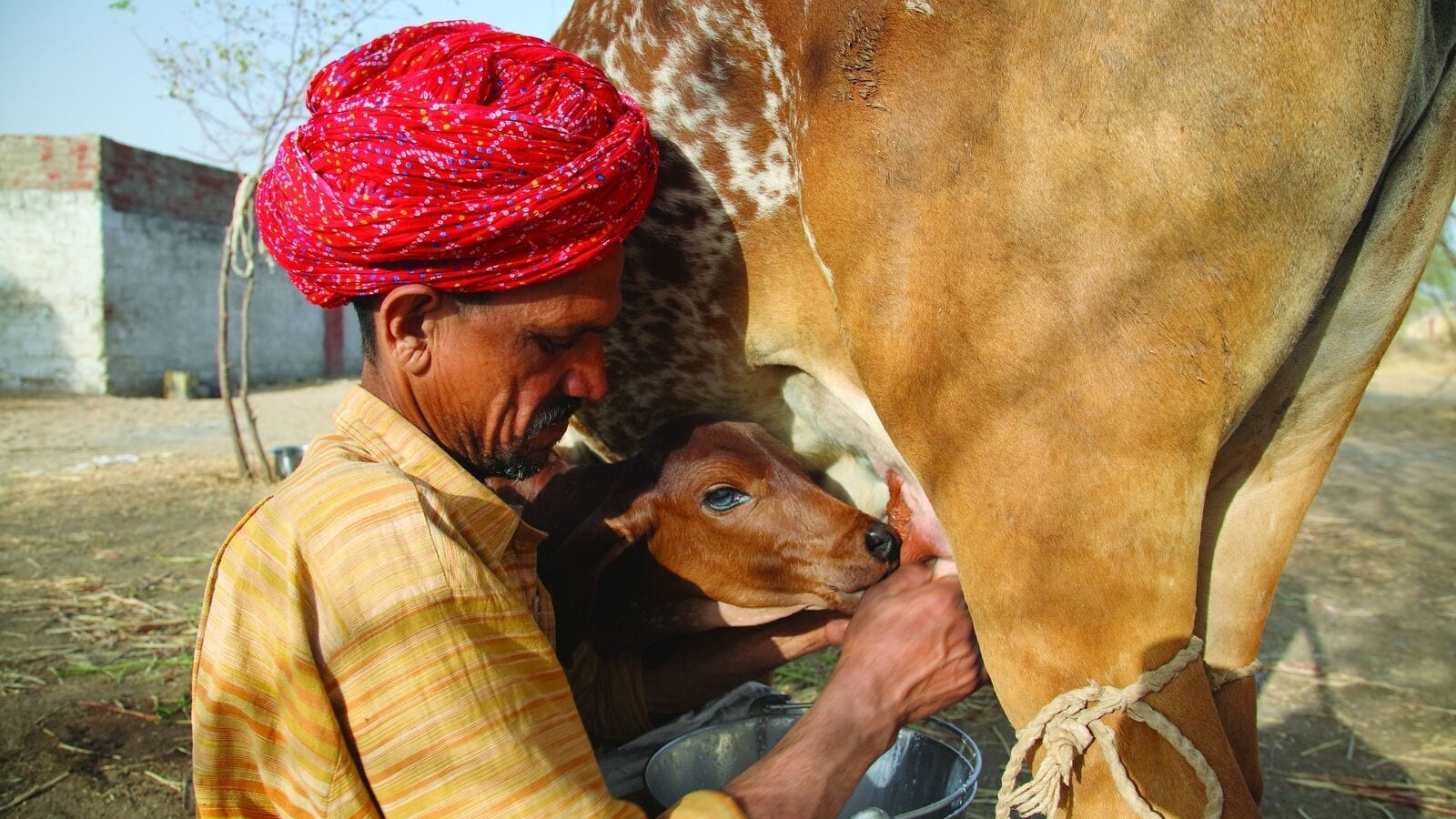 Farmer Ratan Lal Chaudry milks his cow whose name is Dhamni.